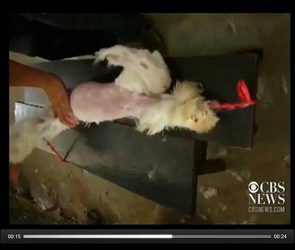 中共安哥拉兔(Angora)養殖場的恐怖「拔毛視頻」,震驚全球,引發國際時裝品牌抵制。(視頻擷圖)