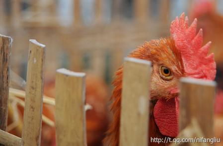 江西省驚現全球首例人類感染H10N8禽流感死亡者。2007年,專家對洞庭湖濕地內水體、候鳥糞便和家禽中的禽流感病毒進行調查,分離出一株甲型禽流感病毒H10N8。研究證實H10N8亞型禽流感病毒是由不同毒株經過基因重排而產生的。(網絡圖片)