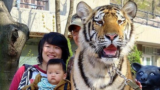 最有煞氣的全家福 你的孩子有沒有騎在小馬上拍過照呢?不管有沒有,你忘記它吧,這已經OUT了。最潮的家庭照是和老虎一起拍。瞧那孩子淡定的表情。