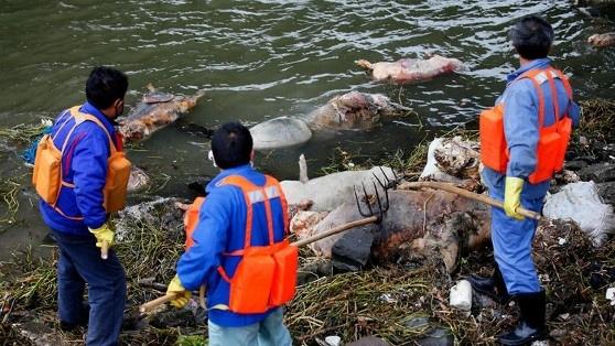 漂流豬 今年,在《少年派的奇幻漂流》上映不久,上海的河流上1600頭死豬開始了它們的魔幻現實主義漂流。