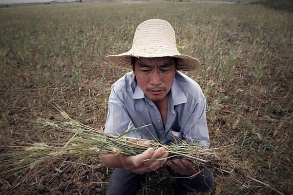 12月23日至24日,中共召開中央農村工作會議,中共中央強調糧食產量安全的背後是中國糧食進口急劇上升,中國糧食危機迫在眉睫。圖為,武漢一農民捧著乾枯的水稻發愁。(ChinaFotoPress/Getty Images)