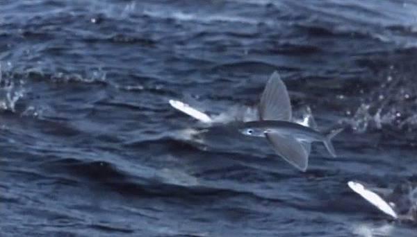 飛魚可藉由羽翼狀胸鰭和流線型的身體在水面上滑翔。