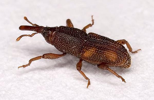米象(學名:Sitophilus oryzae),俗稱米蟲、穀牛、中國大陸北方地區亦稱麥甲。在台灣、日本和世界其他地方均有分佈。常生活在穀物中,繁殖速度快,為穀物中主要的害蟲。