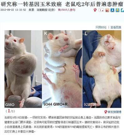 """200 隻白鼠食用美轉基因玉米後普遍患癌。法國科學家經過對小白鼠長達兩年的實驗,做實驗的這批小白鼠普遍患  上乳腺癌,並出現肝臟衰竭現象。 50%的雄鼠和 70%的雌鼠提前死亡。食物主要是孟山都公司推出的""""nk603""""轉基因  玉米。公佈的照片顯示出它們身上長著巨大腫瘤。 法國政府已下令食品與健康安全部門展開全面調查,這很有可能導致歐盟暫停進口轉基因玉米。"""