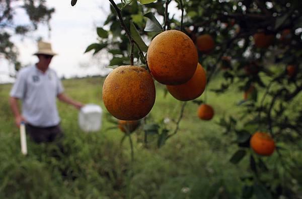 黃龍病從佛羅里達州蔓延到其他柑橘生產地。 (Photo by Joe Raedle/Getty Images)