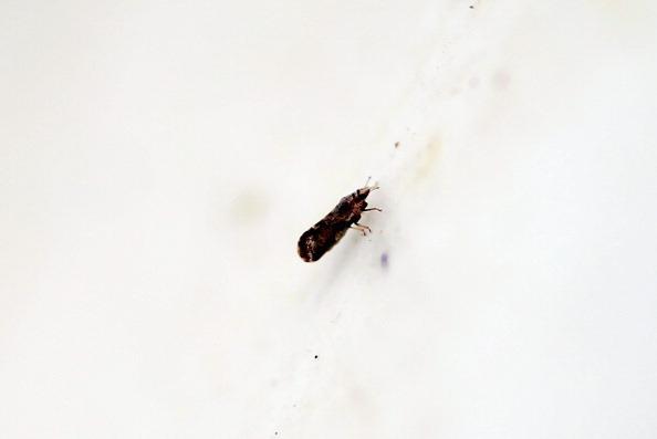亞洲柑橘木蝨蟲攜帶的細菌引起黃龍病(Photo by Joe Raedle/Getty Images)