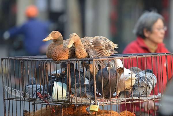 大陸H7N9禽流感疫情目前擴散非常迅速,粵閩浙三省近兩天又通報新增12例病例,引起民眾恐慌,雞肉再次滯銷。圖為,2014年1月6日,上海,商販在街道出售活的家禽。(大紀元資料室)