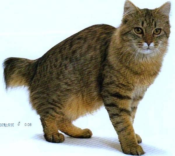 美國截尾貓American Bobtail.棕色斑點虎斑(男)8個月大