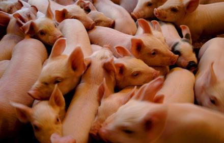 艾格菲實業(AgFeed Industries)偽造銷售飼料發票,並捏造並不存在的生豬銷售數據。