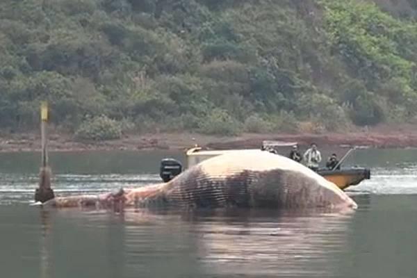香港大埔紅石門3月29日發現一條長達十米的巨型鯨魚屍體擱淺在船灣淡水湖附近淺灘上,暫時未知死因。(網絡截圖)