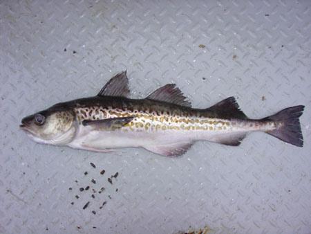 在德國出售的阿拉斯加鱈魚有2/3是在中國加工的。(National Oceanic and Atmospheric Administration/維基百科)