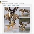 立陶宛攝影師馬呂斯•查普利斯的魚鷹捕食鯉魚的一組照片,被民眾喻為「江澤民現狀」,開始在一些網站瘋傳。(網絡  圖片)