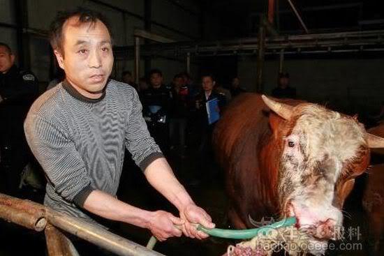 江蘇徐州黑心「活牛灌水」屠宰場手段駭人聽聞。