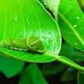 最近一項有趣的研究發現,植物可以「聽見」自己被吃掉的聲音,從而變得更具防衛性。有科學家認為,植物是有靈性智慧的生物,  具有感官、學習能力和記憶,甚至有類似人類的反應。(Fotolia)