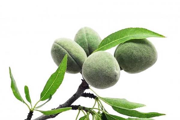 杏仁樹上的杏仁果。 (Fotolia)