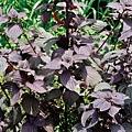 紫蘇葉辛味重,善發散寒;其梗,辛味較緩,健胃順氣安胎;其子,尤能下氣定喘。(攝影/鄭元春)