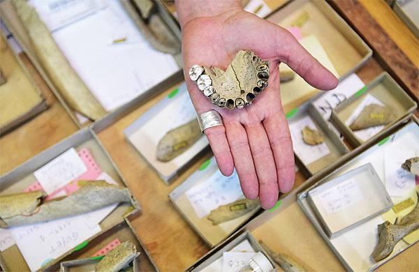 科學家通過DNA分析尼安德特人的牙齒,發現古人類食用天然藥物的證據。圖為2016年12月21日美國加州州立大學北嶺分校人類學家Helene Rougier展示五個尼安德特人中的96塊骨頭和三顆牙齒。(AFP)
