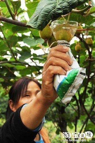 這位大嬸在給獼猴桃洗澡嗎? 不不不,她是在用膨大劑蘸泡獼猴桃長大期的嫩果。