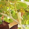 周至縣樓觀鎮西樓村一果農將兩瓶膨大劑按比例倒入水中。南司竹村一位果農說,獼猴桃不使用膨大劑,果體小,難以銷售,果商也不願意購買,產量、產值都會下降。而且周至縣各鄉鎮、村落,以及縣城的農資經銷店隨處都能買到四川生產的膨大劑。膨大劑使一個100克的獼猴桃,增加80克左右。