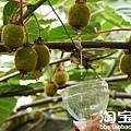 """果農正用攪拌好的膨大劑蘸泡獼猴桃長大期的嫩果。膨大劑俗稱""""大果靈"""",也叫""""膨大素"""",主要刺激細胞分裂素的物質,屬於激素類化學物質,對植物可產生助長、速長的作用。"""