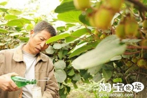 周至縣司竹鄉南司竹村一果農將攪拌好的膨大劑灌入蘸果器,準備蘸泡獼猴桃嫩果。