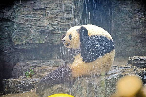 2018年5月14日北京溫度高達攝氏34度,動物園的飼養員在給大熊貓淋浴降溫。(大紀元資料室)