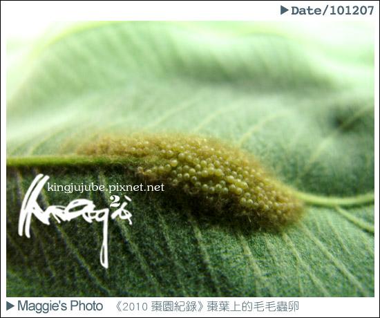 棗頁上的毛毛蟲卵2.jpg