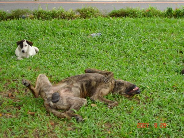 路邊睡死的野狗