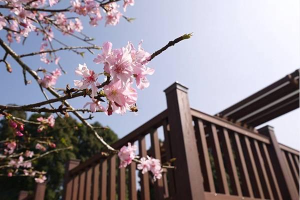2015櫻花季