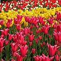 0405_416 上海植物園花季鬱金香.jpg