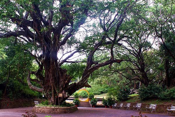 老榕樹擁有參天綠蔭