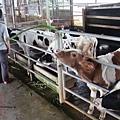 乳牛的家 可以買牧草餵牛