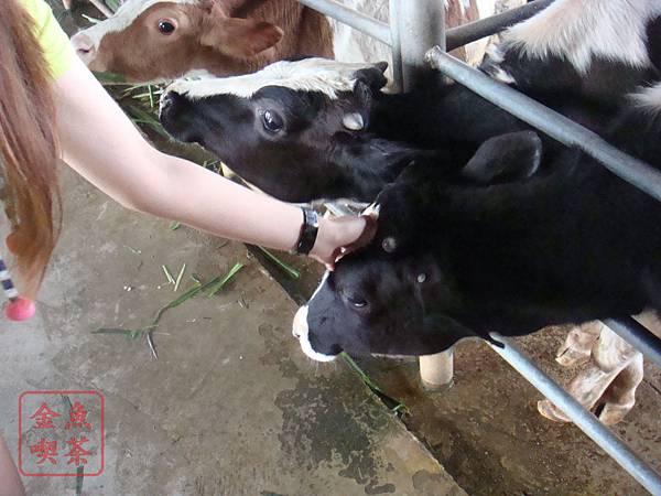 乳牛的家 牛很乖