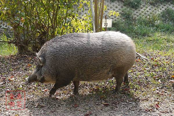 2014農曆年 初一 新化中興林場裡面的豬
