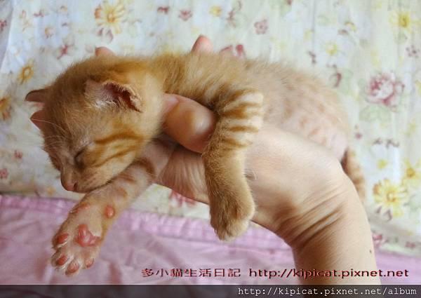 多小貓睡在媽媽手掌上!