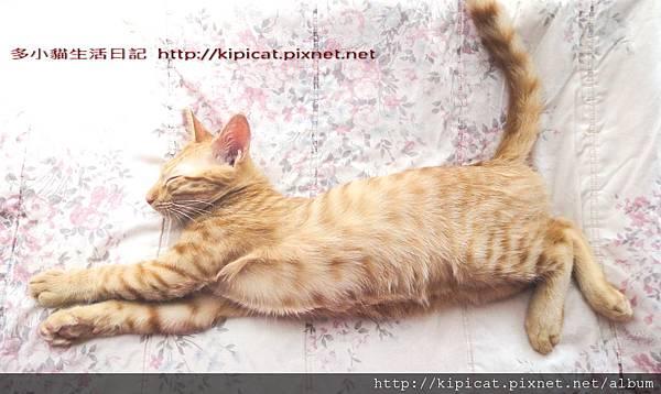 多小貓睡覺英姿--標準駿貓圖