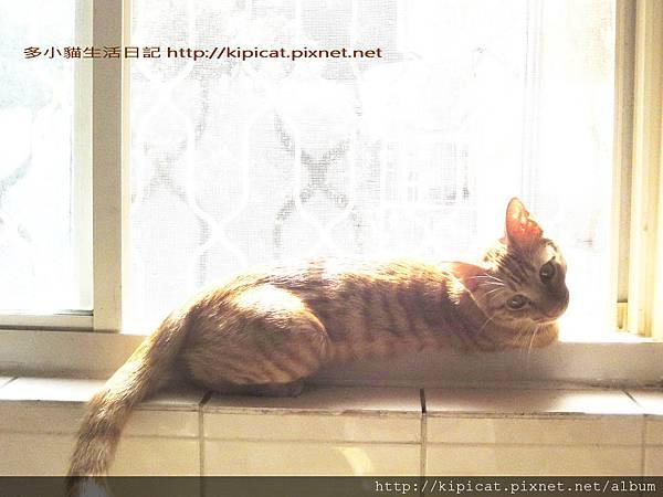 多小貓窗臺曬太陽之2(多小貓生活日記)