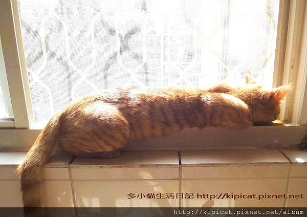 多小貓窗臺曬太陽之3(多小貓生活日記)