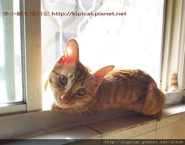 多小貓窗台曬太陽之1(多小貓生活日記)