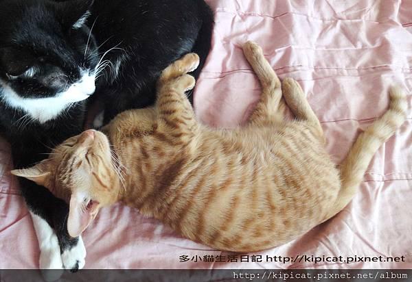 皮皮哥哥喜歡多小貓(多小貓生活日記)