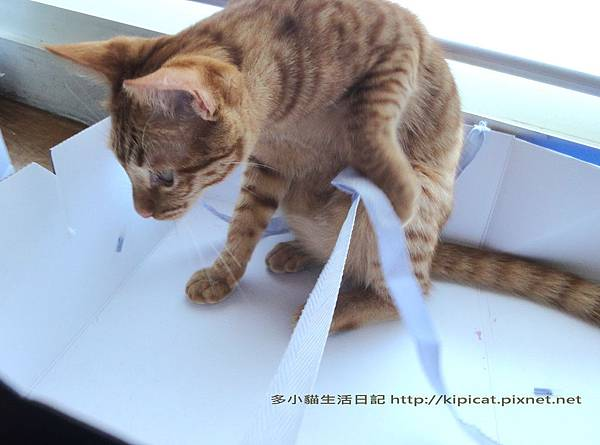 多小貓拆蛋糕盒之2(多小貓生活日記)