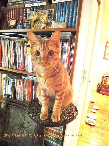 多小貓計謀爬書架(多小貓生活日記)