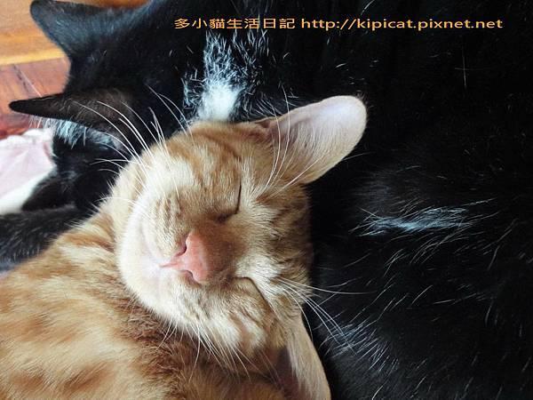 多小貓把皮皮哥哥當枕頭(多小貓生活日記)