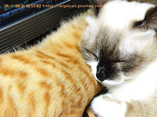 妮妮姐姐把多小貓當枕頭(多小貓生活日記)