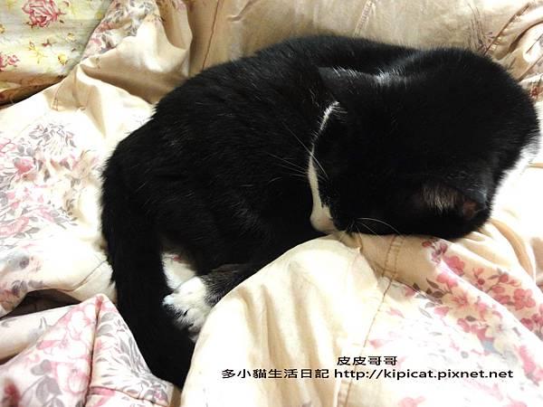 皮皮哥哥睡大覺(多小貓生活日記)