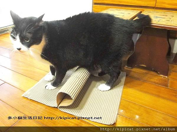 皮哥玩瓦楞紙2(多小貓生活日記)