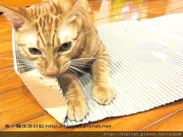 多小貓的瓦楞紙玩法(多小貓生活日記)