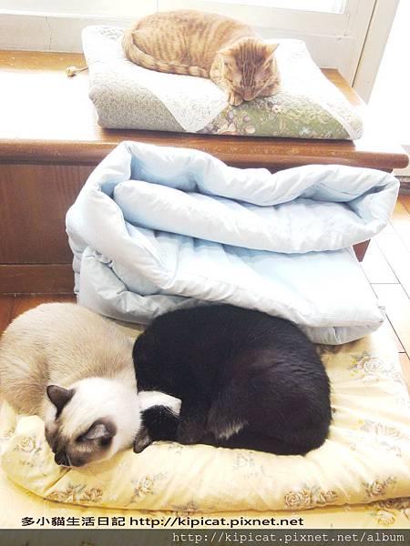 多小貓玩棉被(多小貓生活日記)