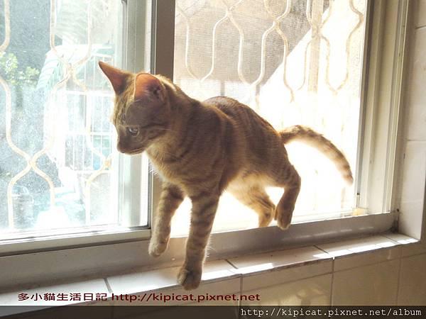 多小貓窗台大跳竹竿舞(多小貓生活日記)