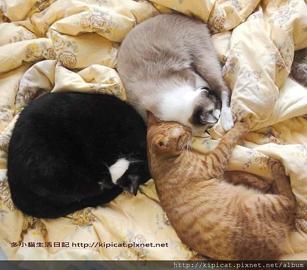 睡覺的藝術照-三瓣花(多小貓生活日記)